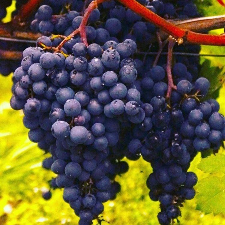 Beautiful!!! Fresh and ready :) #RODwine #rodwineco #grapes #winemaking