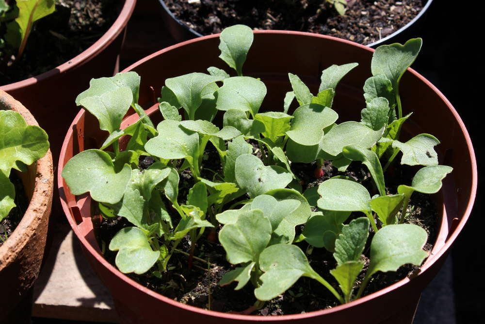 comment faire pousser des radis en pot un petit jardin. Black Bedroom Furniture Sets. Home Design Ideas