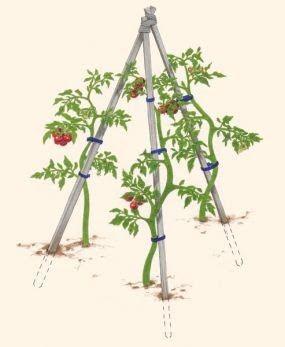 Tarım Siteniz: Domates Yetiştirme Püf Noktaları #tomatenpflanzen