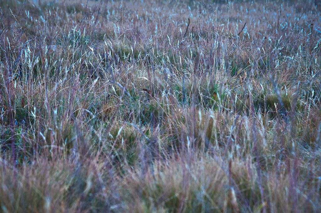 Meadow Grass - Colby Meadow