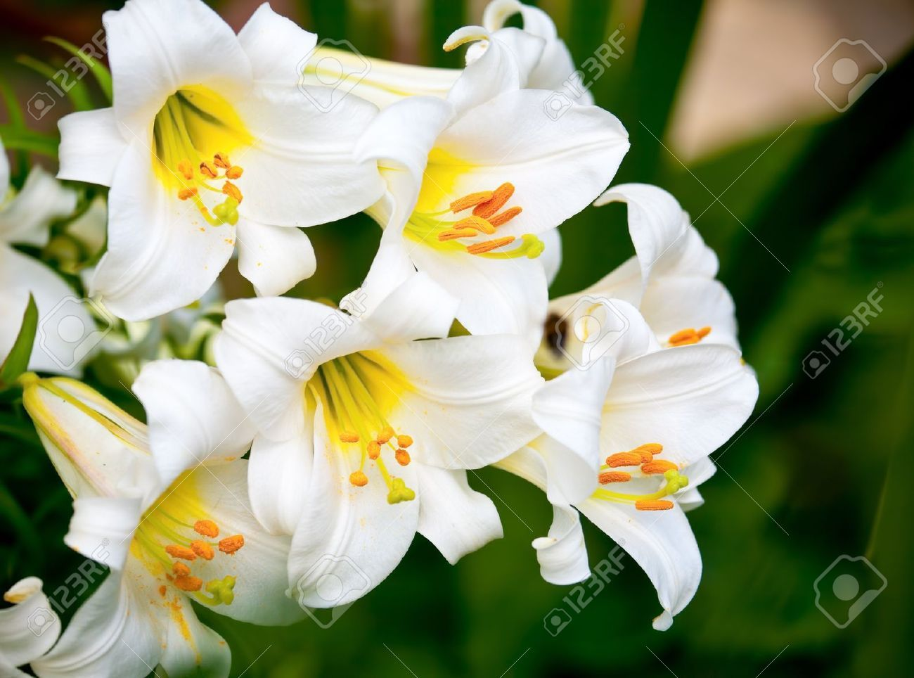 White easter lily flowers in a garden shallow dof stock photo white easter lily flowers in a garden shallow dof stock photo izmirmasajfo