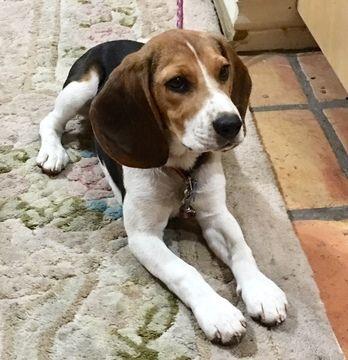 Beagle Harrier Puppy For Sale In Calabasas Ca Adn 50812 On