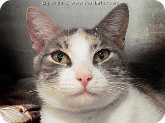 Westerly Ri Calico Meet Cherry White Calico A Cat For Adoption Cat Adoption Kitten Adoption Pets