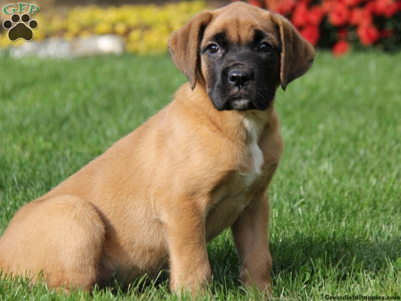Sasha Is A Beautiful English Mastiff Mix Puppy Who Has A Mind Of