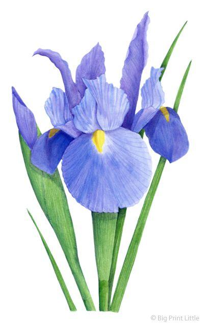 Big Print Little Iris Illustration For House Garden Magazine Flower Drawing Iris Painting Flower Art
