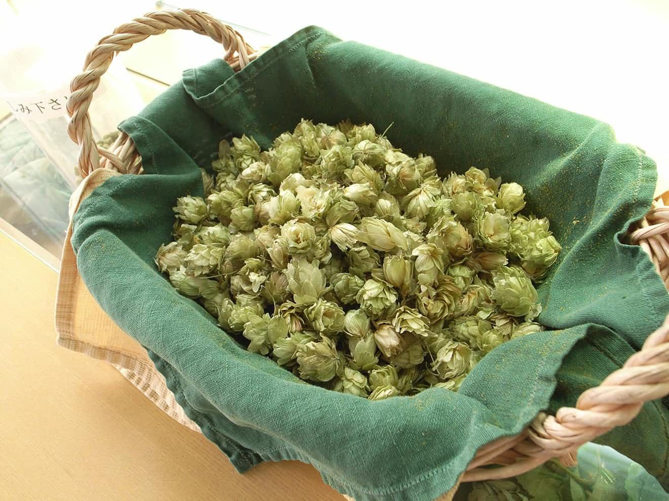 drinking hoppy beer could protect your liver  hoppy beer liver health food