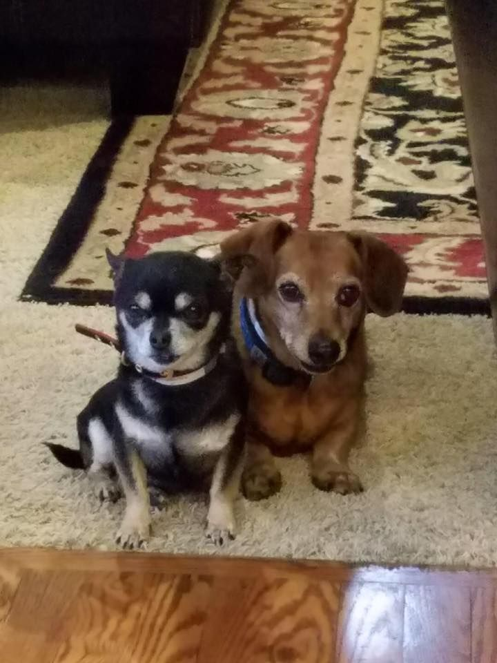 Dachshund Dog For Adoption In Denver Co Adn 514707 On