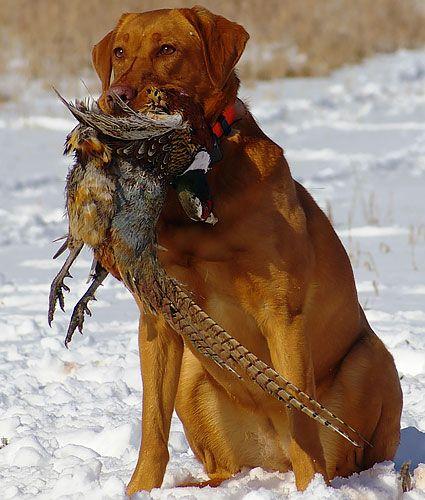 Fox Red Labrador retriever breeding and training kennel