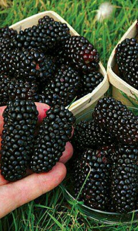 Pakistan Is The Home Of World S Sweetest Mulberries Fruit Berries