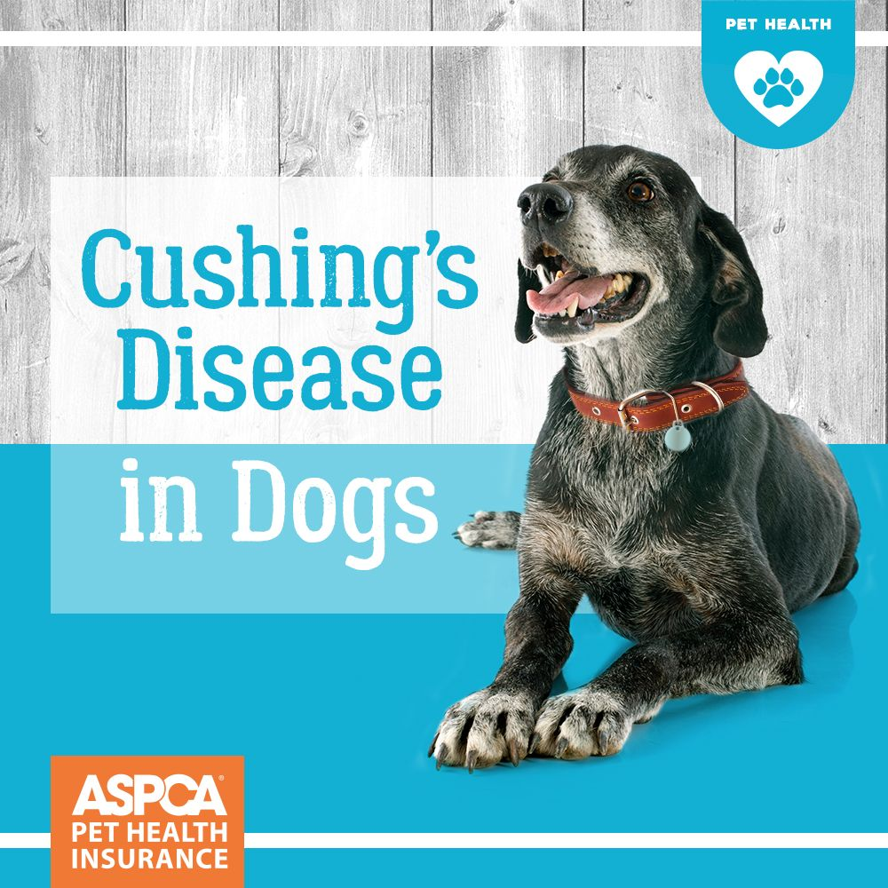 Detecting And Treating Cushing S Disease In Dogs And Cats Aspca Pet Insurance Cushings Disease Dogs Dogs Dog Health Problems