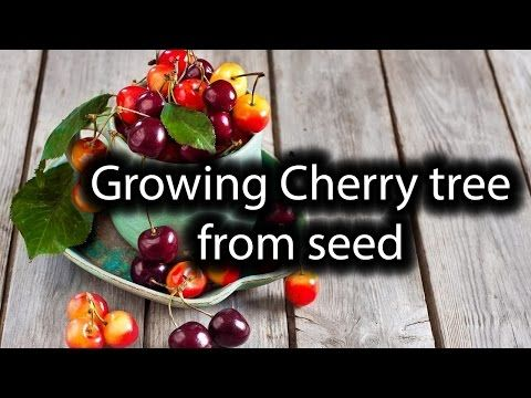 Starting Cherry Tree From Seed Simple Easy Fast Way Ever Youtube Cherry Seeds Cherry Tree From Seed Planting Cherry Trees