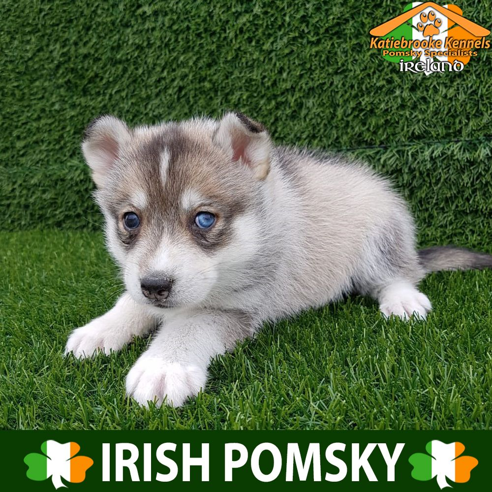 Pomsky Puppy For Sale Pomsky Puppy Geneva Katiebrooke Kennels