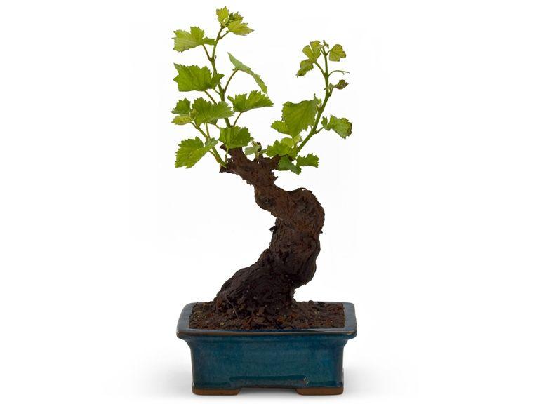 bonsai de frutas - Google Search