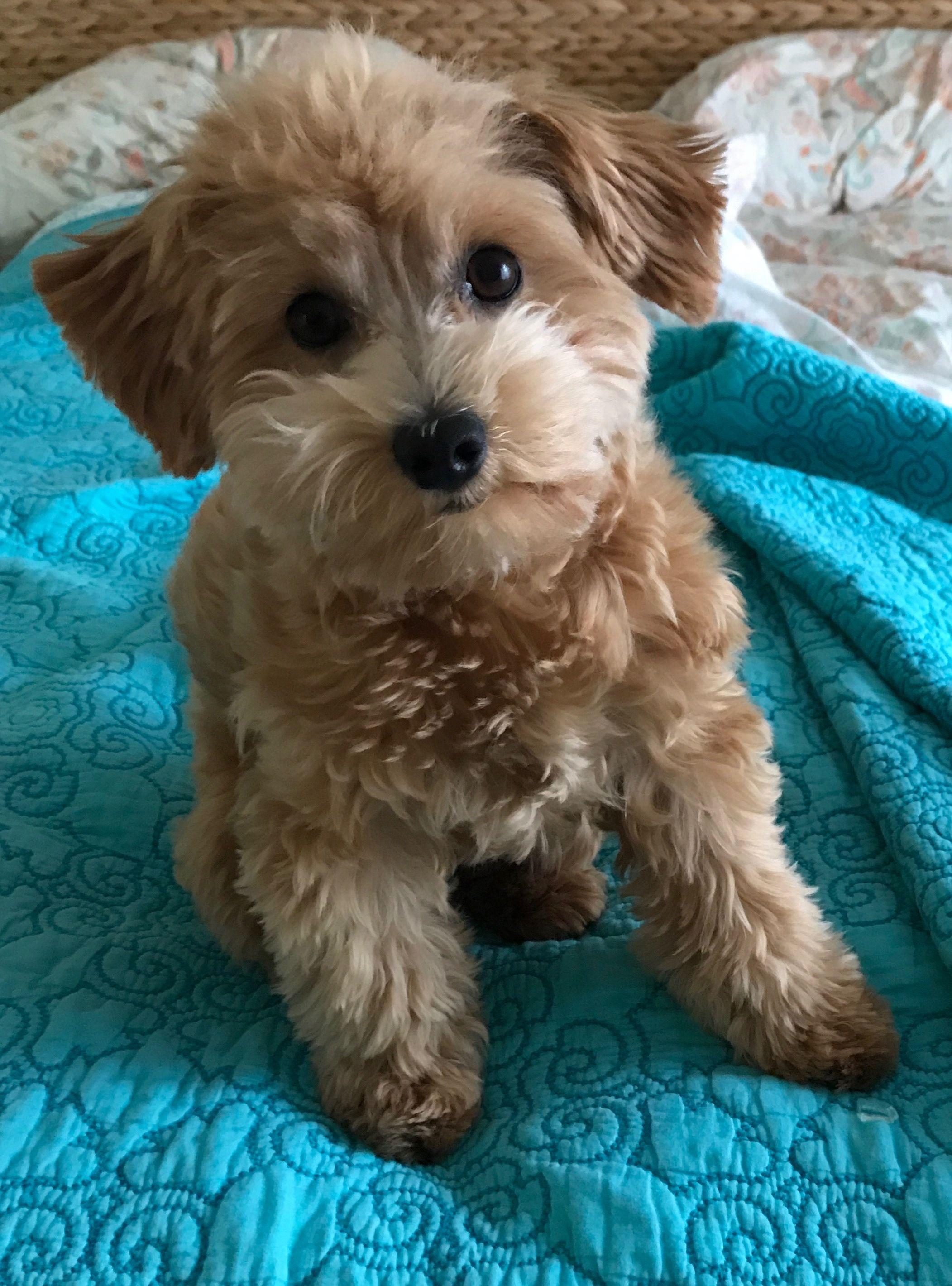 Havapoo Puppy Havapoo Puppies Puppies Poodle Mix Dogs
