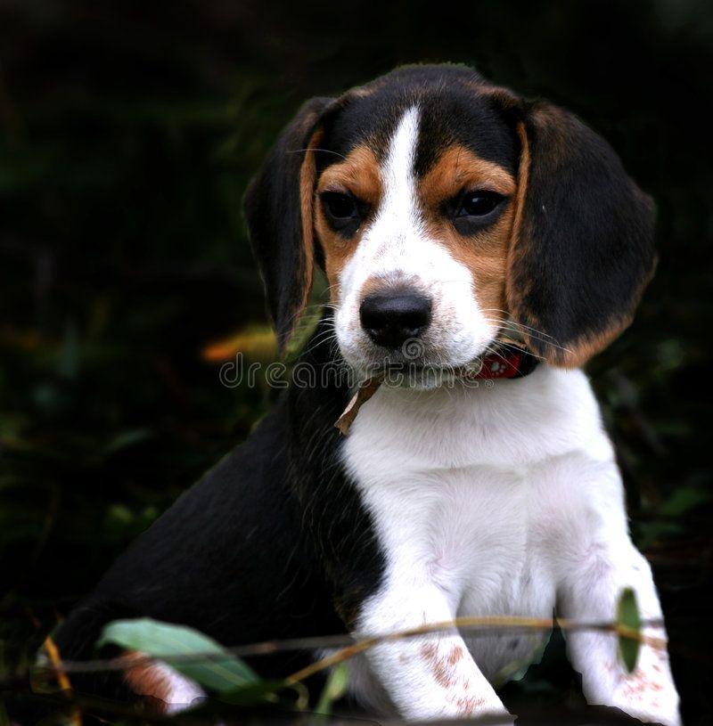 Beagle Boy Beagle Puppy Too Cute Affiliate Boy Beagle