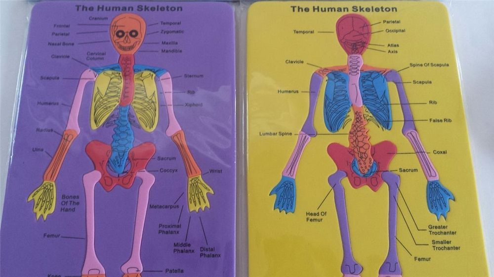 Human Skeleton Body Foam Puzzle Science Anatomy Reference Prek 2