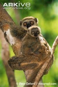 Bemaraha Woolly Lemur Bing Images You Monkey Meprimate