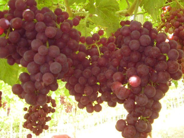 GRAPE GATHERING IN ITALY BASKETS GRAPE VINES ATTACHED TO TREES AND ESPALIERS