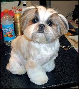 Shih Tzu Grooming Styles Pictures Haircuts Yahoo Image Search Results With Images Shih Tzu Grooming Shih Tzu Puppy Shih Tzu