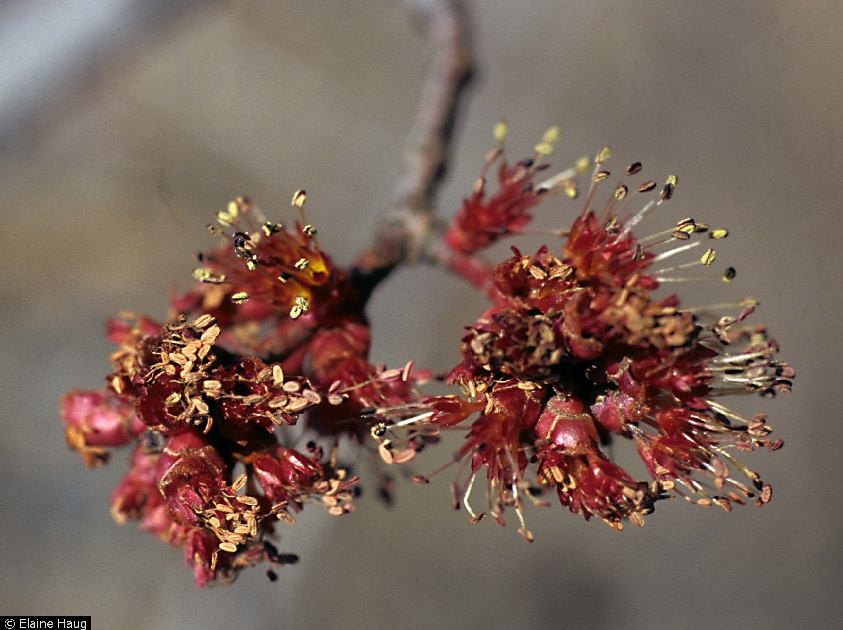 female red maple flowers (With images) Flowers, Red