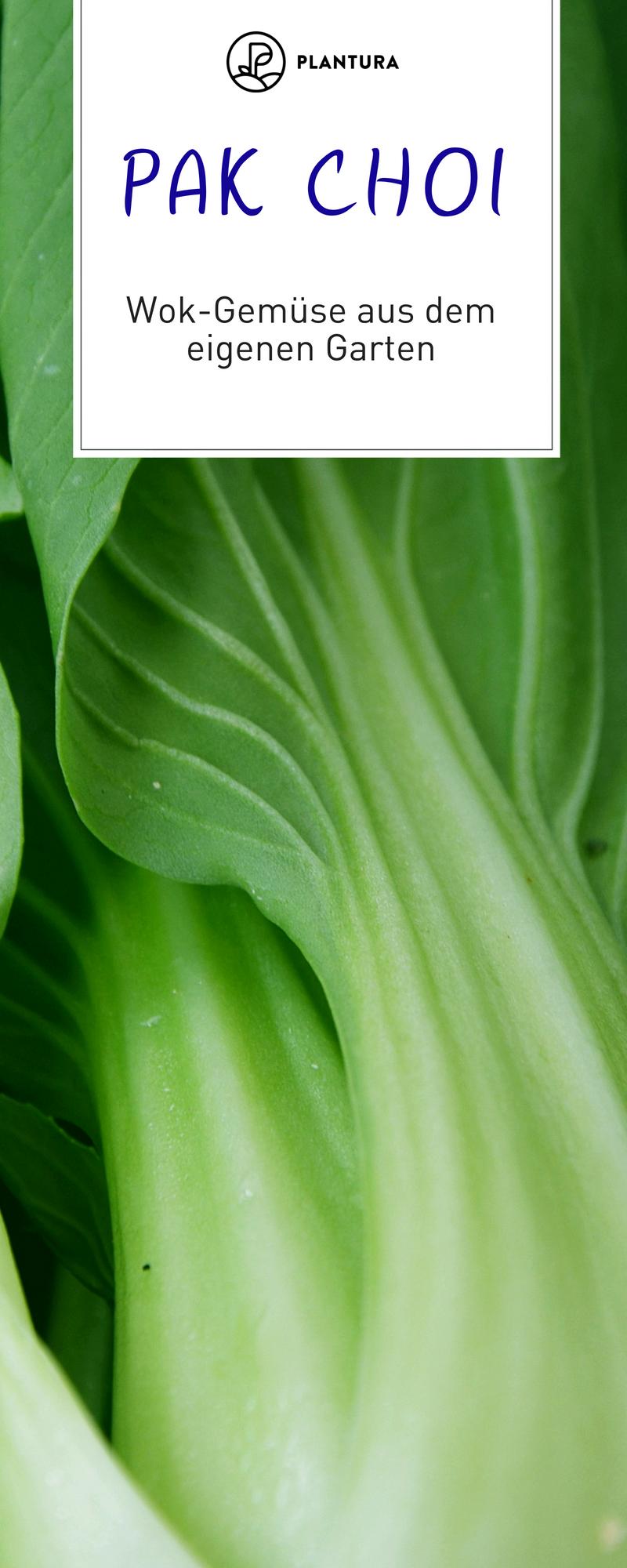 chinakohl pflanzen tipps garten pflege, pak choi anbauen: aussaat, pflege und erntezeit | anbau von pflanzen, Design ideen