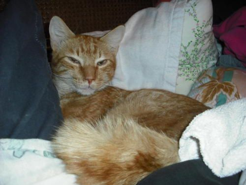Adopt Cheddar On Petfinder Cat Adoption Cats Cat Rescue
