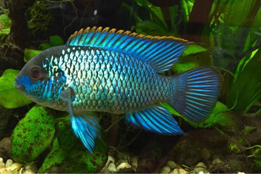 The never ending drift electric blue acara andinoacara for Blue freshwater fish