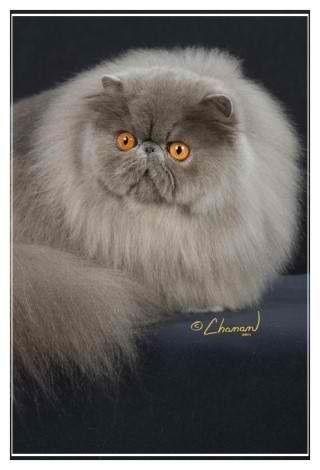Persiano Blu Persian Cat Gorgeous Cats Beautiful Cats