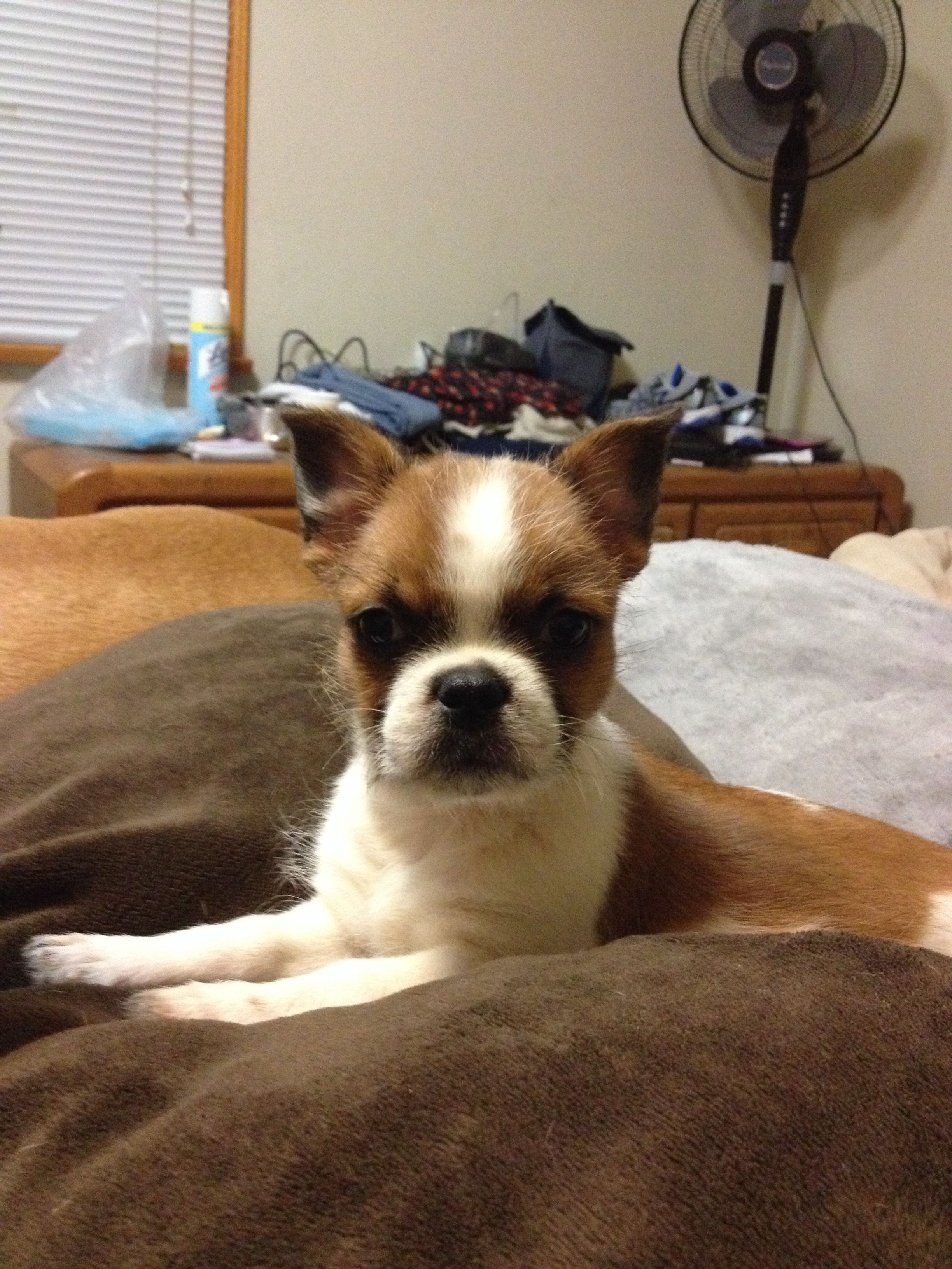 My French Bulldog Shih Tzu Mix He Is So Cute French Bulldog Mix French Bulldog Bulldog