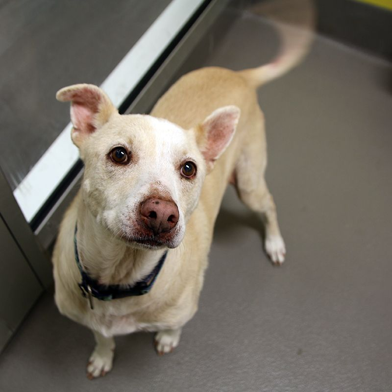 Lucy Spca Of Texas Dallas Adoptables Dogs Animals Pets