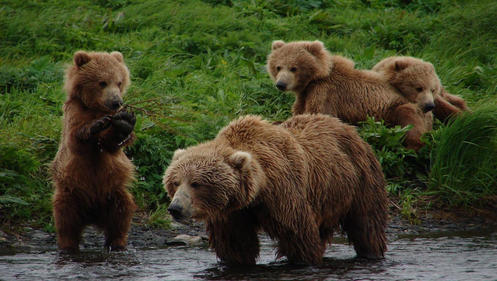 Grizzly Bears vs Brown Bears Differences Alaska Tours