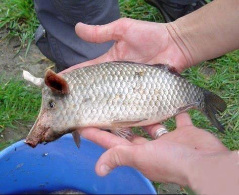 (2013-02) Pig + fish = pish?