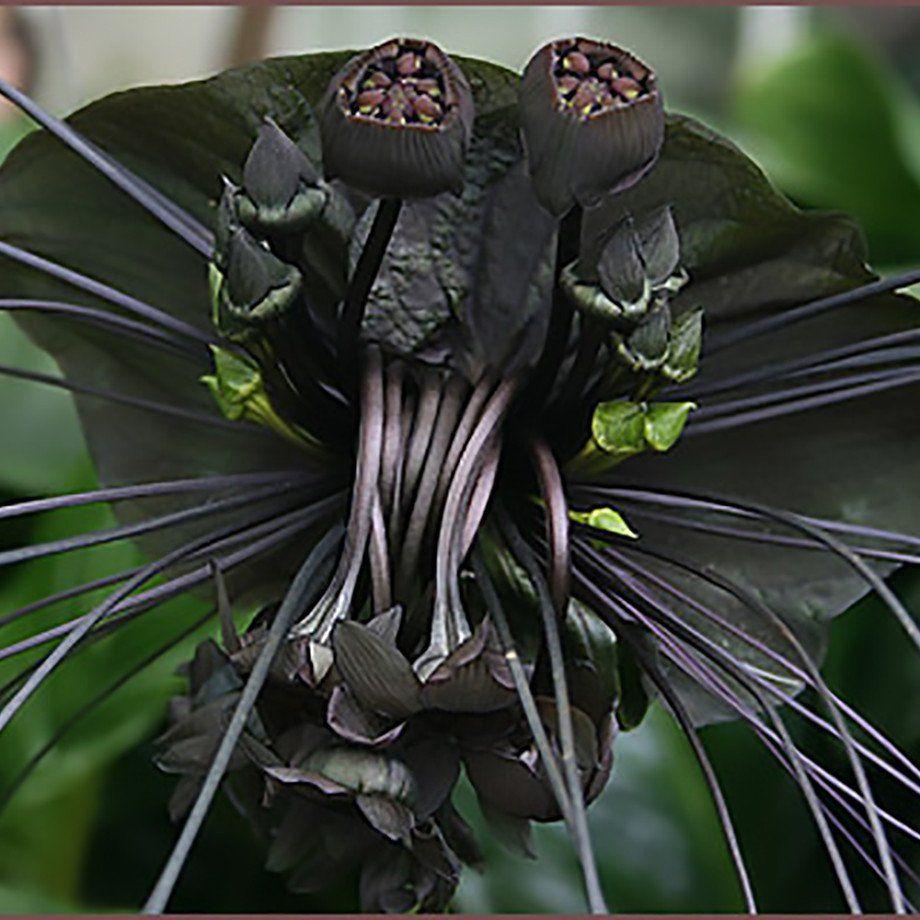 Tacca Black Black Bat Plant Bat Flower Bat Plant Black Flowers