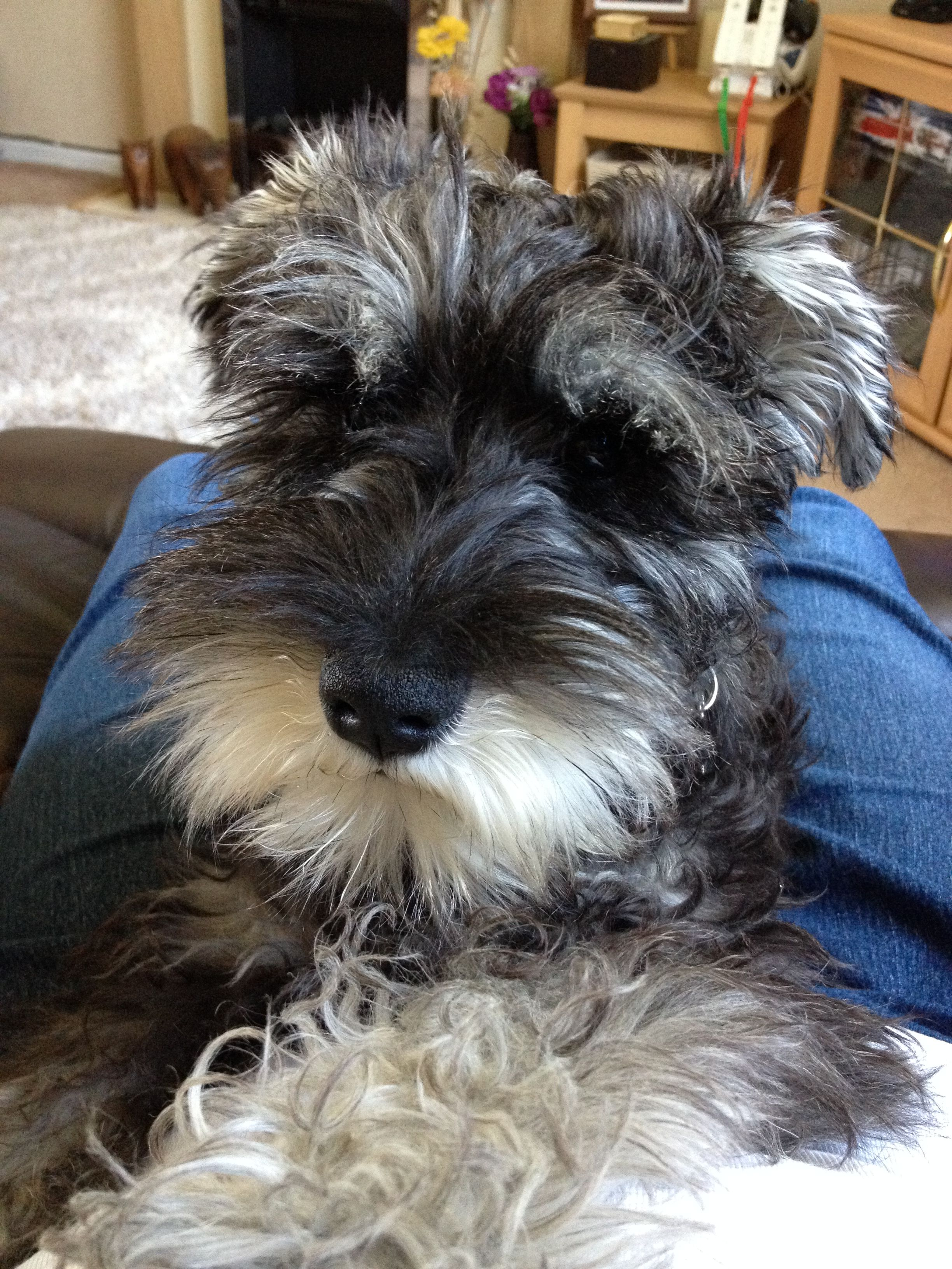 Pin By Jo Gisseleire On Mi Perrita Schnoodle Dog Schnauzer