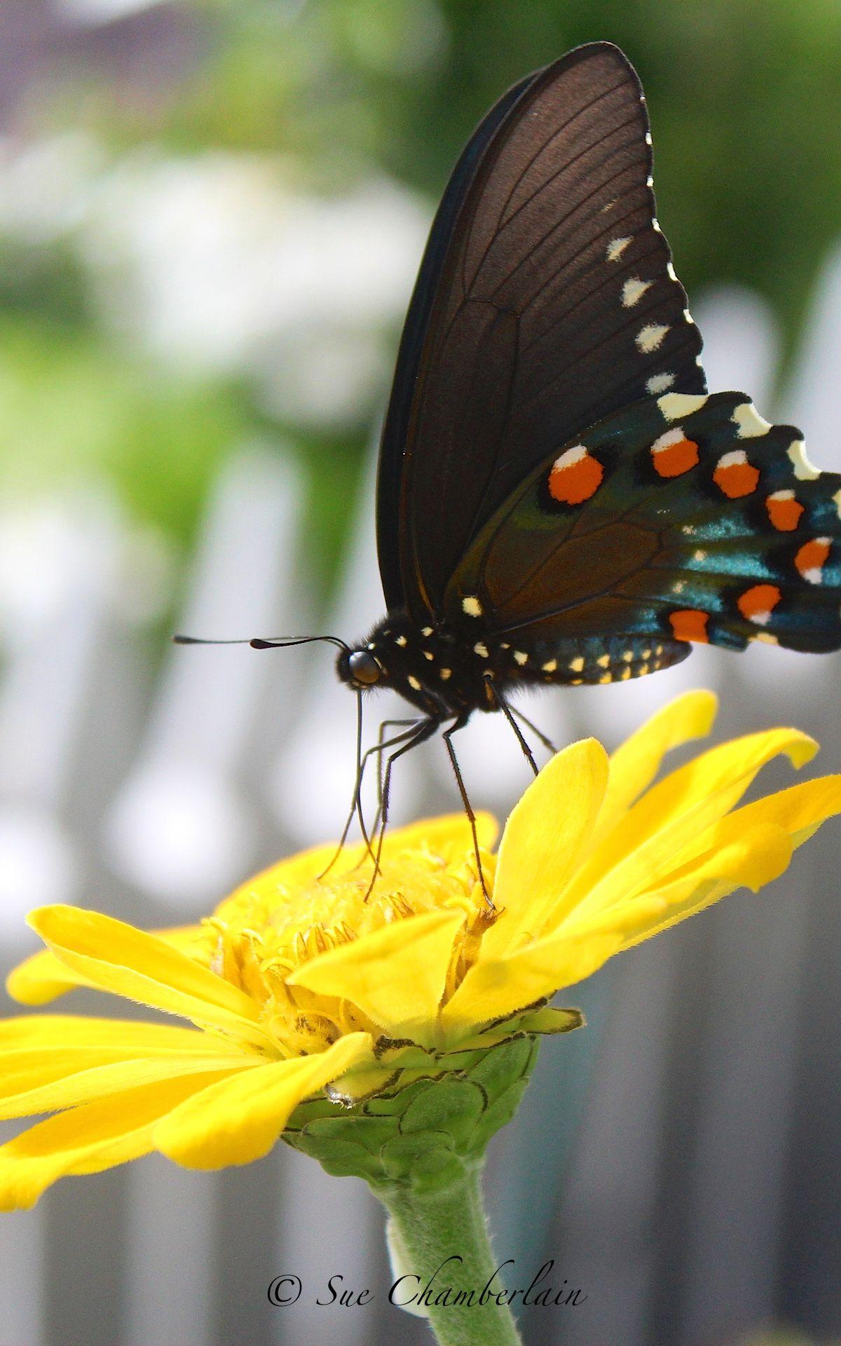 Garden Walk Chattanooga: Butterfly/zinnias The Barn Nursery, Chattanooga Personal