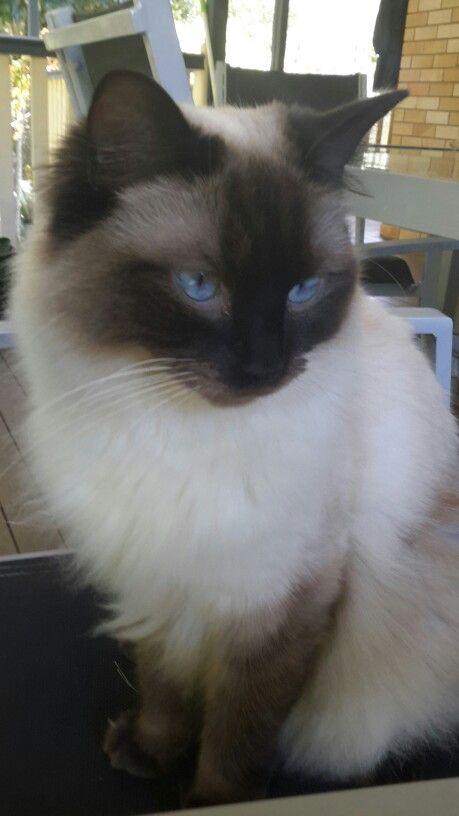 My Beautiful Jasper Ragdoll Cat Ragdoll Cat Kitten Pictures Feline