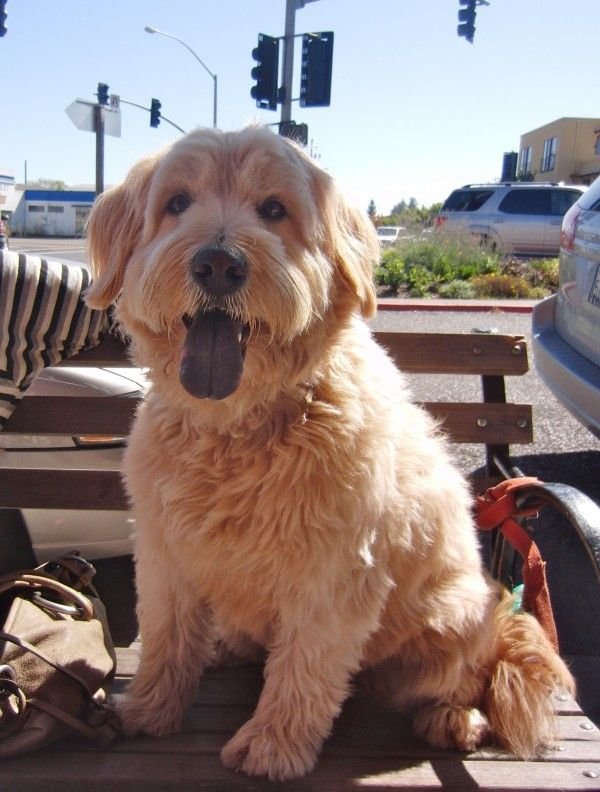 Dog Of The Day Peaches The Chow Wheaten Terrier Poodle Mix