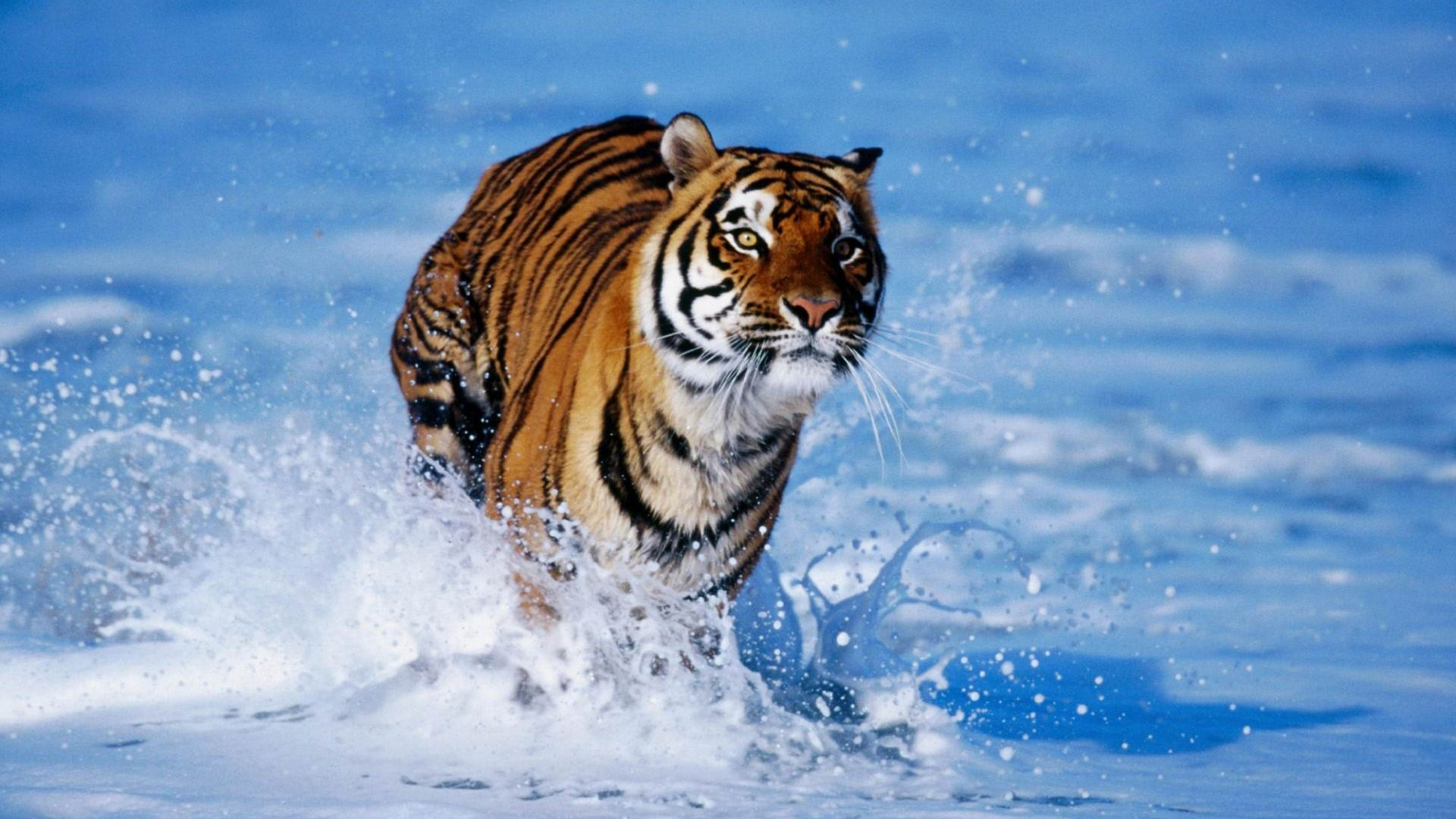 Tiger Beach Tiger In Water Pet Tiger Animals Wild