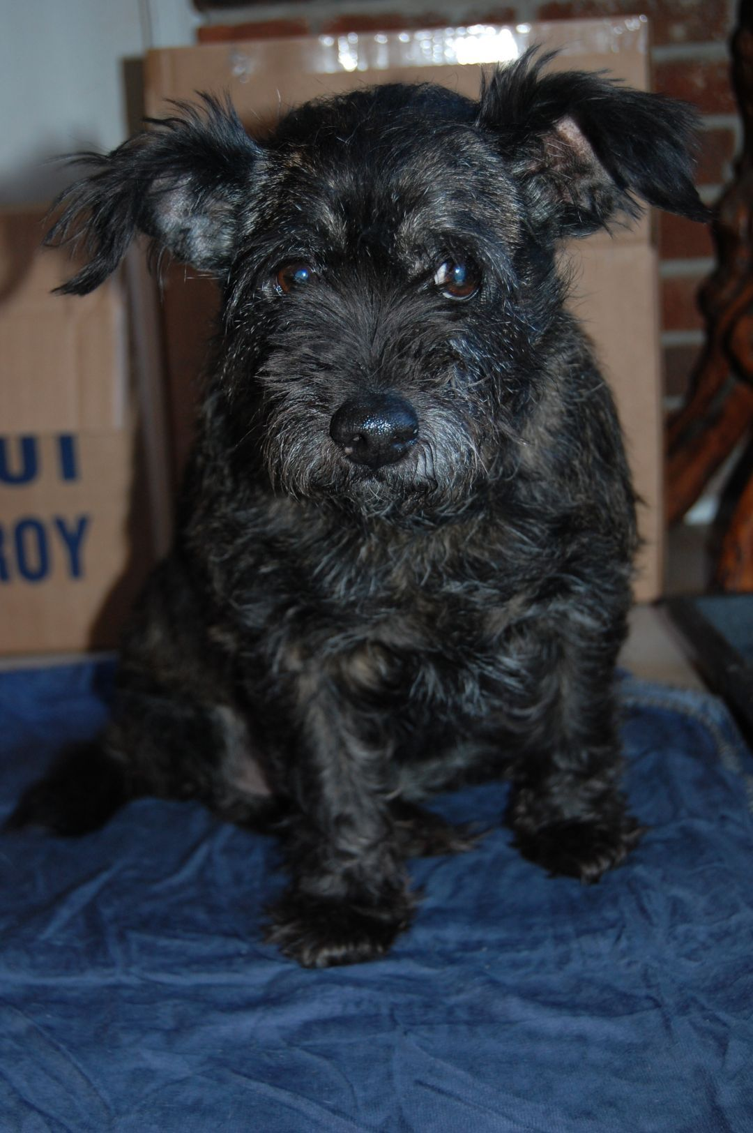 Adopt Tracey On Petfinder Cairn Terrier Mix Dog Love Pitbull Terrier