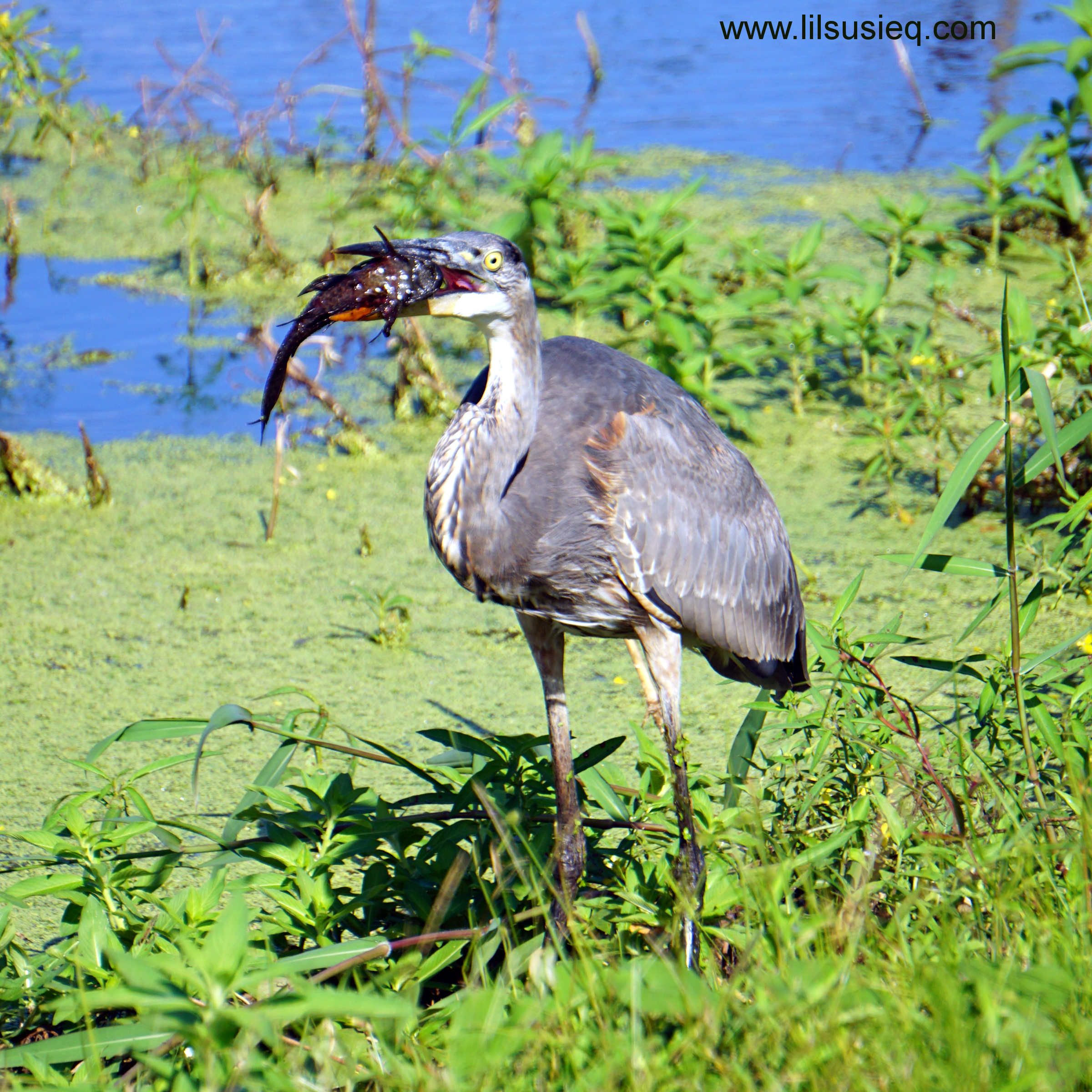 Lake Apopka North Shore: Great Blue Heron Having Fish For Lunch! #wildlife #lake