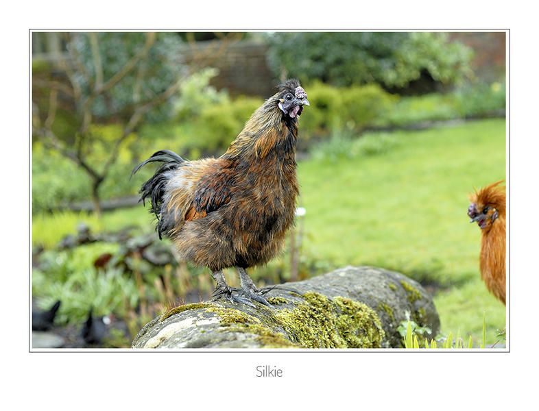 Silkie Chickens Breed Information Silkies, Silkie