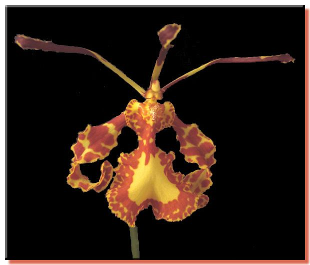 Orchid Photo Gallery Psychopsis Mendenhall Hildos Orchid Photo Orchids Orchid Care