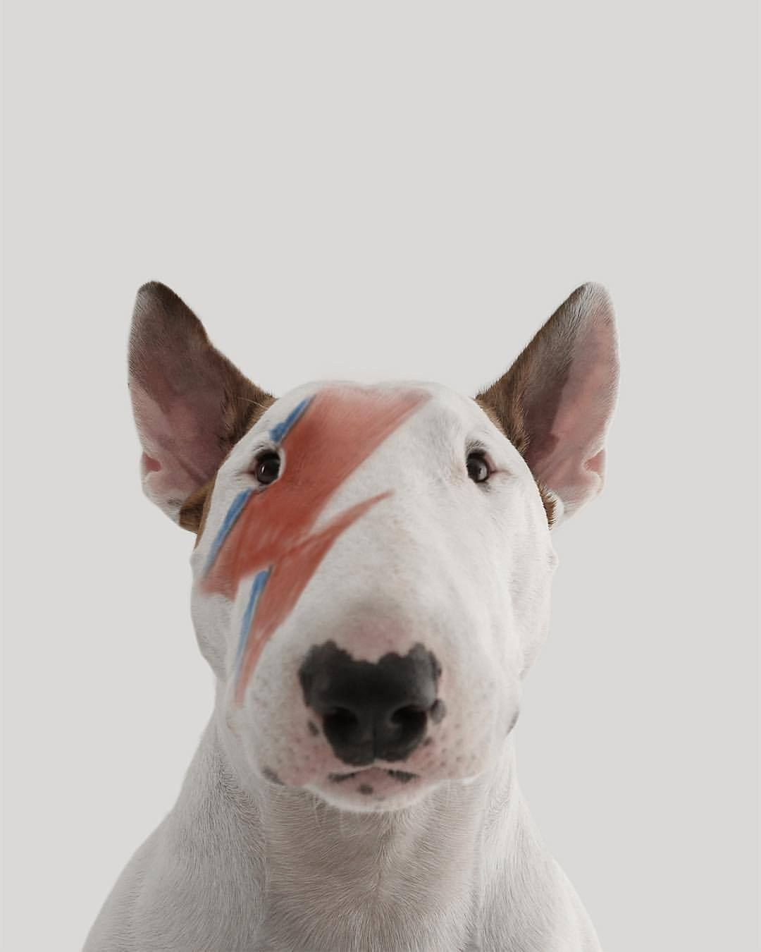 R I P David Bowie Bull Terrier Mascotas Bonitas Cuadros Del Perro