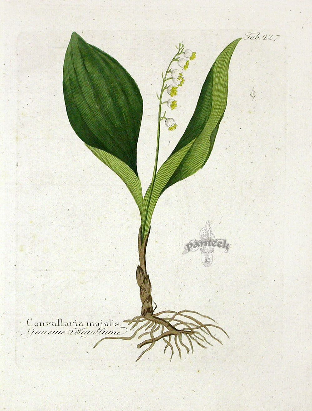 lily of the valley botany print - Google Search