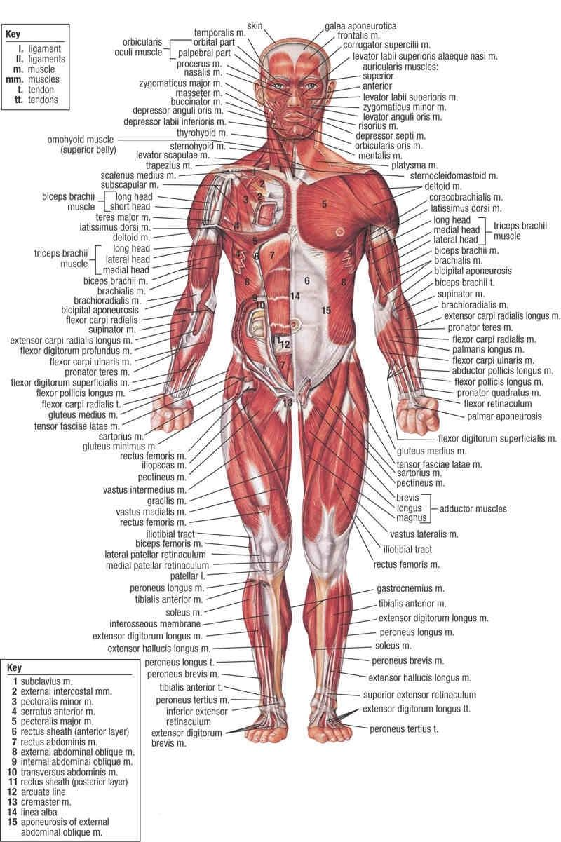 Human muscle anatomy anterior view in detail - Anatomy Note www ...
