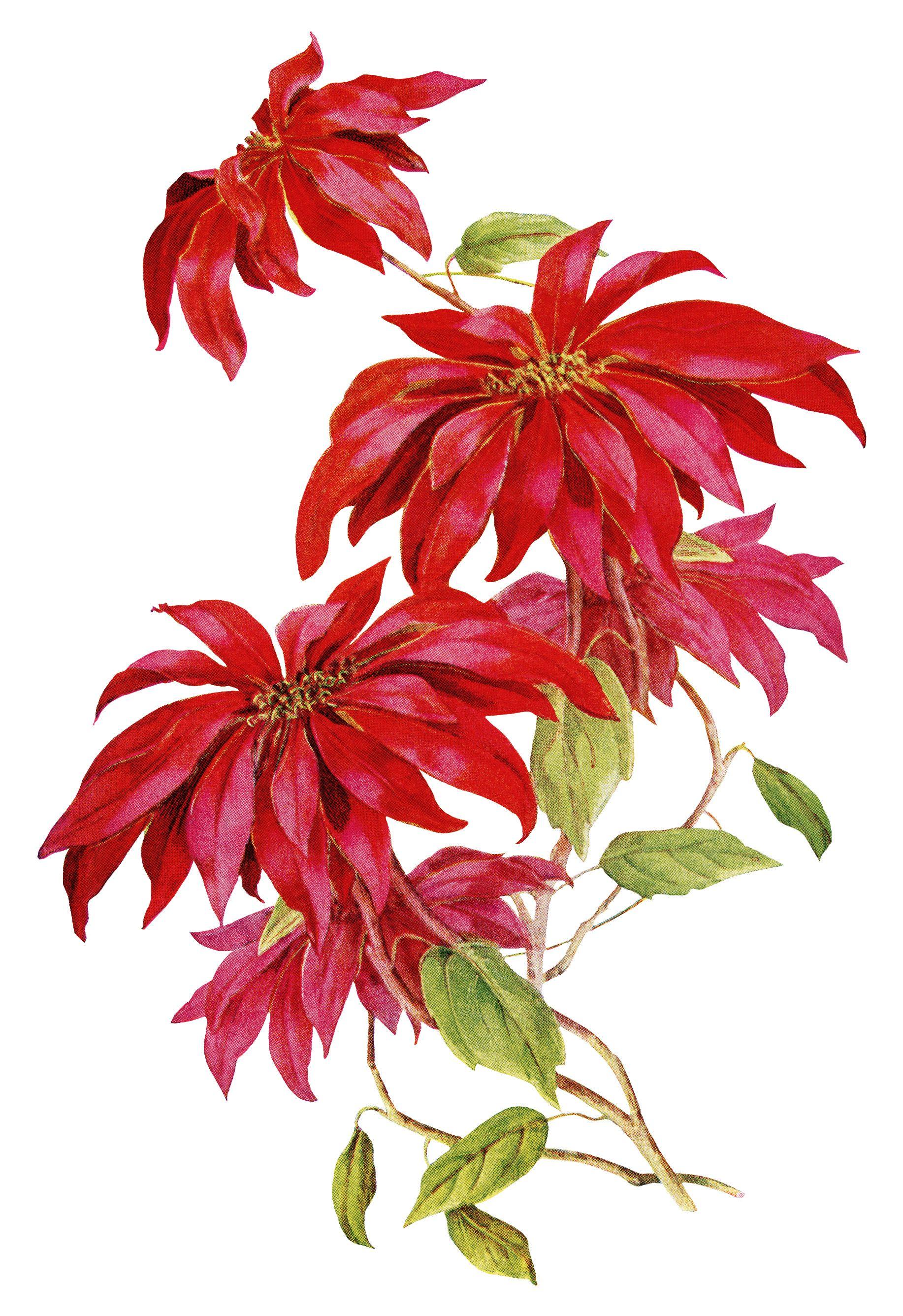 Poinsettia Christmas Flower ~ Free Vintage Image (on white ...