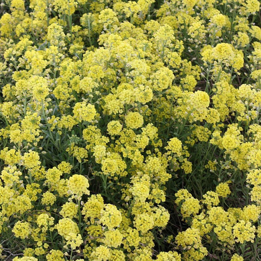 Steinkraut 'Berggold' #kleinekräutergärten