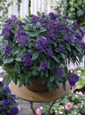 Heliotrope Du Perou 380 Avec Images Arbustes A Fleurs Jardin