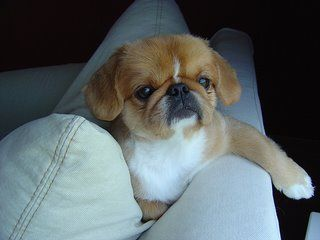 Pekingese Pug Pekingese Pug Mix Pug Breed Pug Mixed Breeds