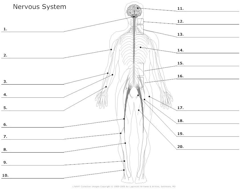 muscular system worksheets Nervous system unlabeled – The Muscular System Worksheet